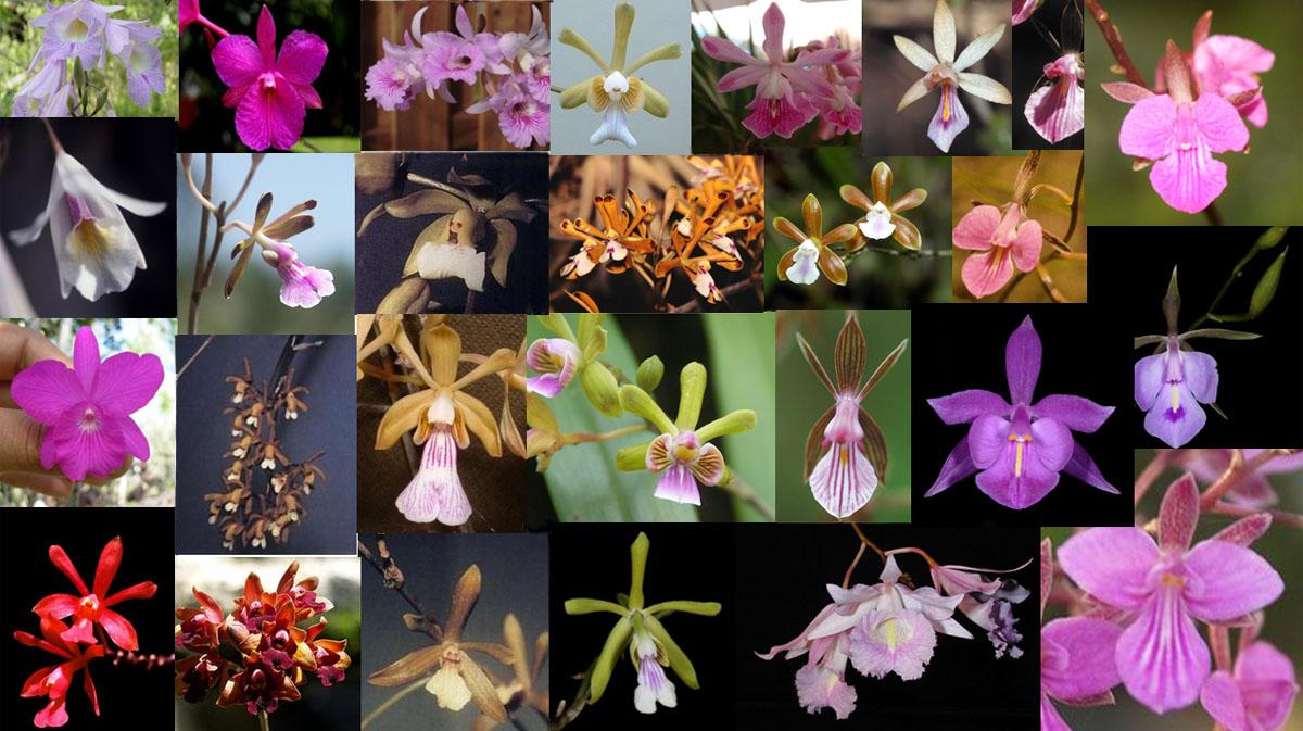 Algunas orquídeas de la Alianza Broughtonia que estamos estudiando. En esta imagen se puede apreciar la diversidad de formas y colores que presentan este grupo de orquídeas filogenéticamente emparentadas.