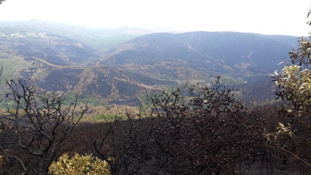 Foto 2: ejemplares de Hakea tras el incendio. Las hojas han sido consumidas por el fuego, y sólo quedan los frutos sobre la planta. La sierra que se muestra quemada al fondo es sólo parte del incendio, en el entorno de Dem, entre Serra do Arga y Caminha.