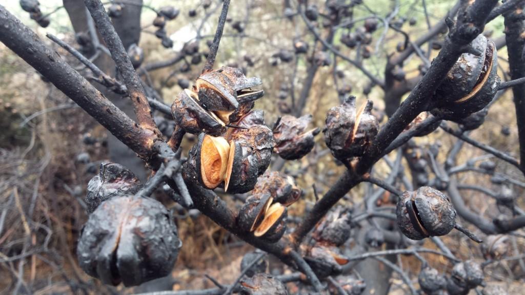 """Foto 3: frutos de Hakea sericea abriéndose tras el fuego, y permitiendo así la liberación de las semillas que continuarán la expansión de la invasora. Nótese la forma """"en ala"""" de la semilla, perceptible en la marca que queda en el interior de la cápsula abierta."""